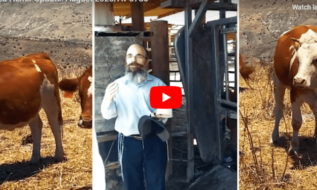 Israel Will Have It's Temple Again: Rabbi Inspects Red Heifer in Secret Location in Israel for Use in 3rd Temple